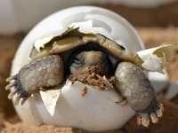 Tojásból kikelő teknős